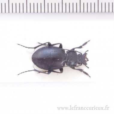 Mimocarabus pumilio