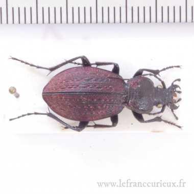 Sphodristocarabus armeniacus