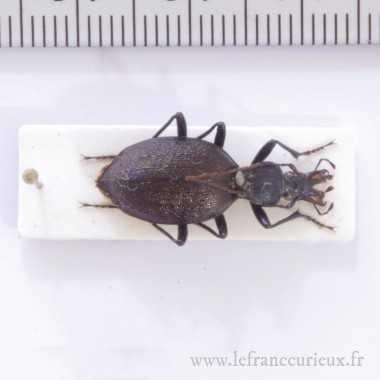 Cychrus aeneus starcki