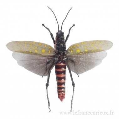 Aularches punctatus - femelle
