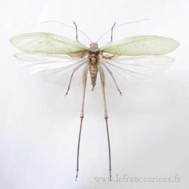 Tettigoniidae sp. - mâle