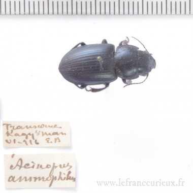 Acinopus ammophilus