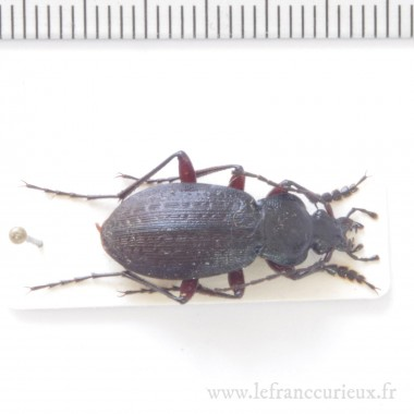 Carabus (Morphocarabus) venustus