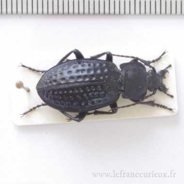 Carabus (Oreocarabus)...