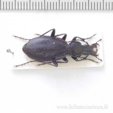 Carabus (Tribax) osseticus