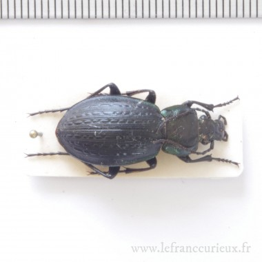 Carabus (Eucarabus) cumanus