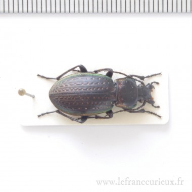 Hyalophora cecropia monté en boîte