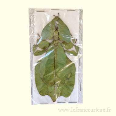 Phyllium pulchrifolium -...