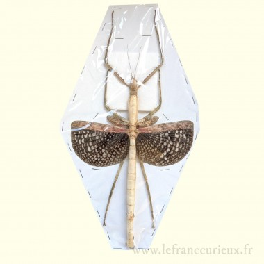 Anchile maculata - femelle