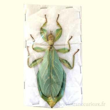 Megaloxantha bicolor nigricornis