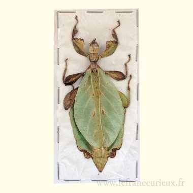 Phyllium jacobsoni - femelle