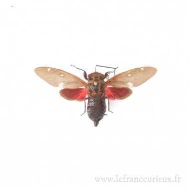 Balinta tenebriscosa