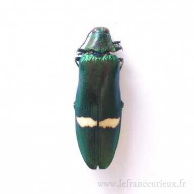 Megaloxantha daleni ssp. - mâle