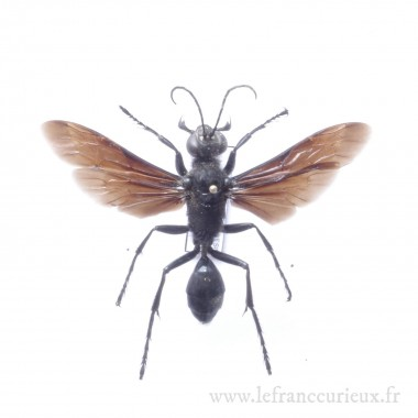 Hemipepsis sp.