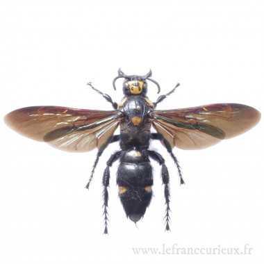 Megascolia procer - mâle
