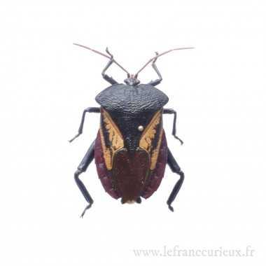 Oncomeris flavicornis