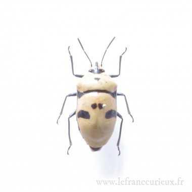 Aiguilles entomologiques taille 0