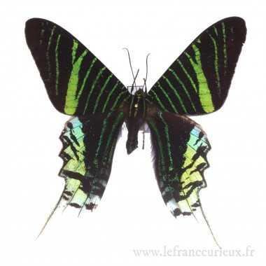 Epingles entomologiques taille 4