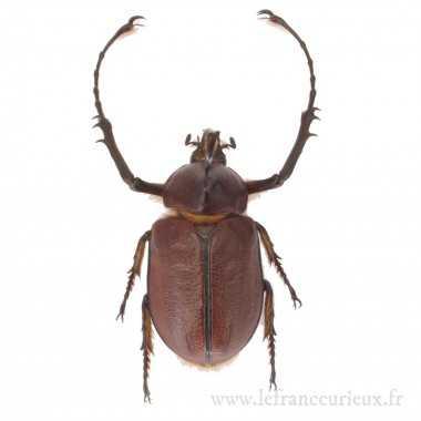 Golofa eacus - mâle - 50mm
