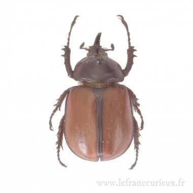 Golofa pusillus - mâle - 29mm
