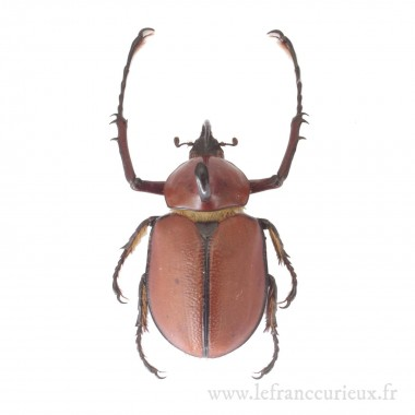 Golofa spatha - mâle - 55mm