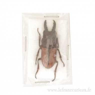 Epingles entomologiques taille 000