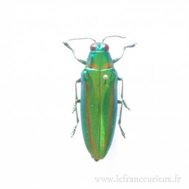 Chrysochroa rajah - mâle