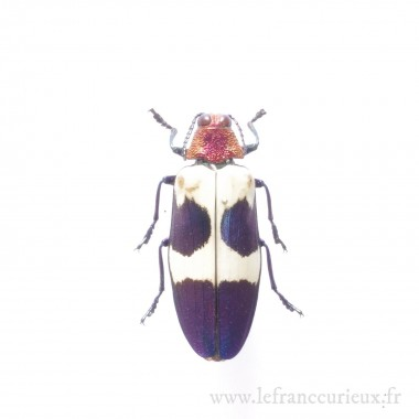 Chrysochroa buqueti rugicollis - mâle