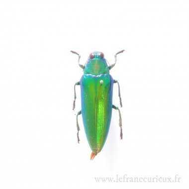 Chrysochroa weyersii - mâle
