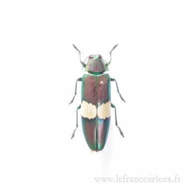 Chrysochroa saundersi - mâle