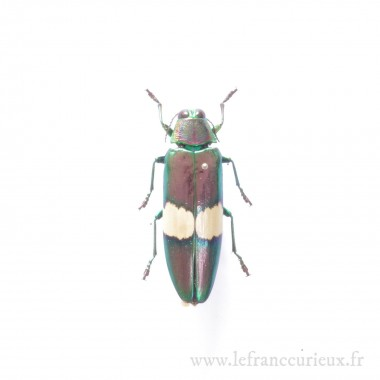 Chrysochroa saundersii - mâle