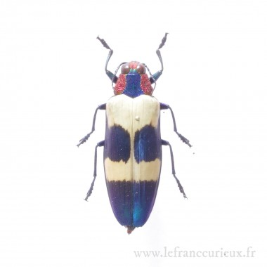 Chrysochroa buqueti buqueti - mâle
