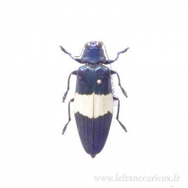 Chrysochroa castelnaudii -...