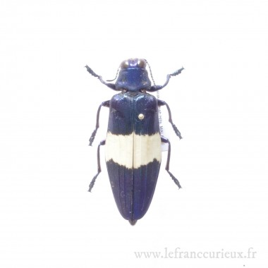 Chrysochroa castelnaudii - mâle