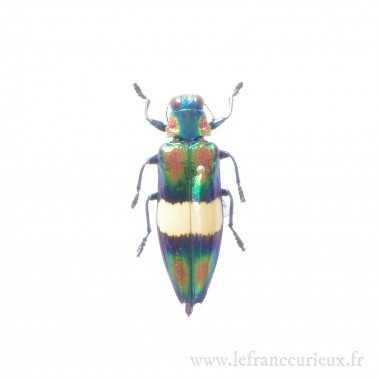 Chrysochroa toulgoeti - mâle