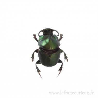 Onthophagus mouhoti mâle