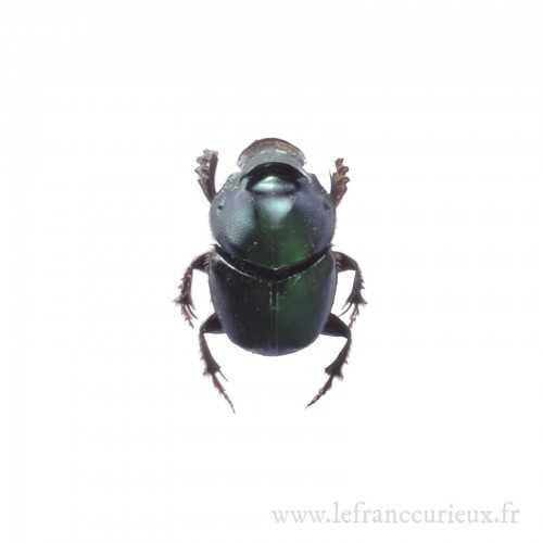 Onthophagus mouhoti femelle
