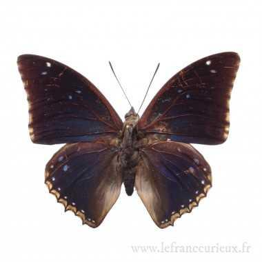 Chalcosoma atlas keyboh (M.)