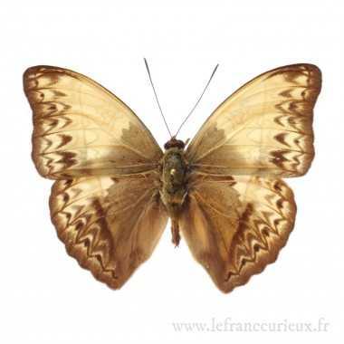 Cymothoe capella - mâle