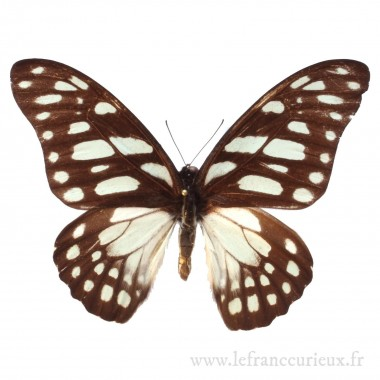 Graphium leonidas - mâle