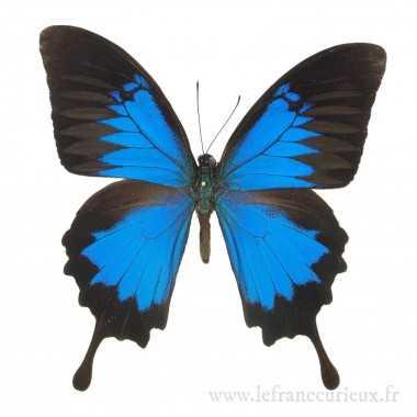 Papilio ulysses ulysses - mâle