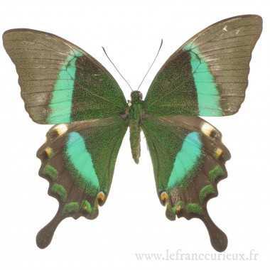 Papilio palinurus daedalus - femelle
