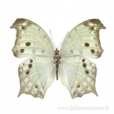 Protogoniomorpha parhassus - mâle
