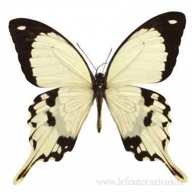 Papilio dardanus - mâle