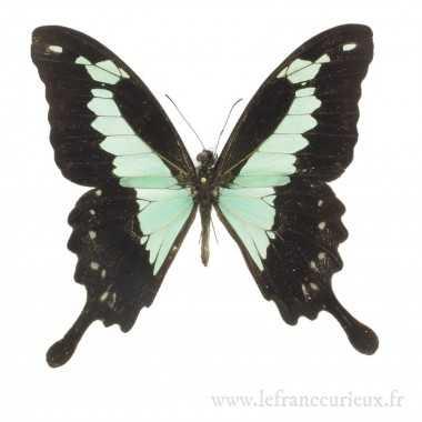 Papilio phorcas congoanus -...