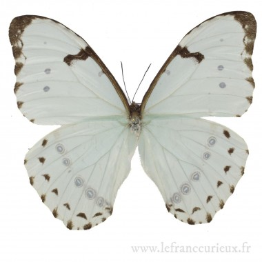Morpho epistrophus catenaria - mâle