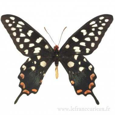 Papilio antenor - mâle