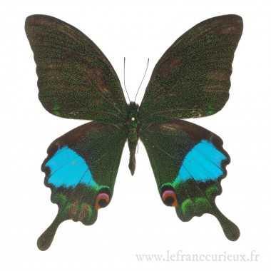 Papilio karna karna - mâle