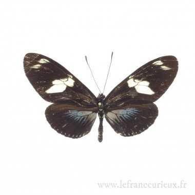 Laparus doris obscurus