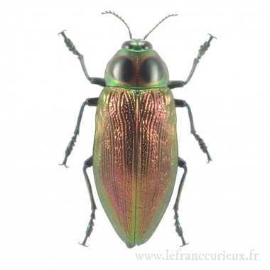 Chalcosoma caucasus (M.)
